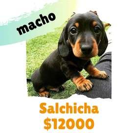 Cachorros Salchicha