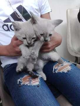 Siames gatos