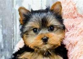 Cachorros de la raza yorkshire terrier contra entrega a nivel nacional con documentos profesionales