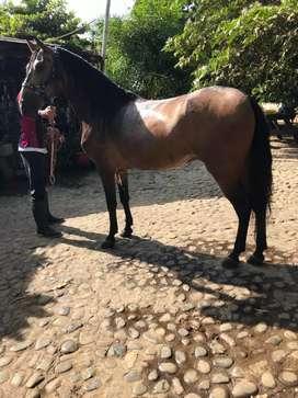 Se vende caballo hijo de arkano se permuta