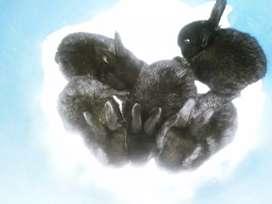 Vendo conejitos negros