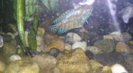 Venta de peces ornamentales para acuarios