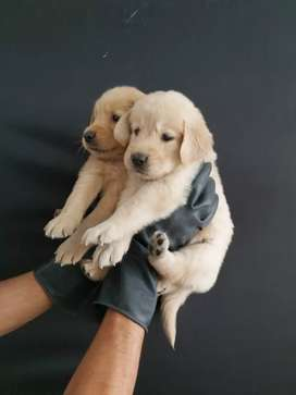Autenticos en su totalidad golden retriever