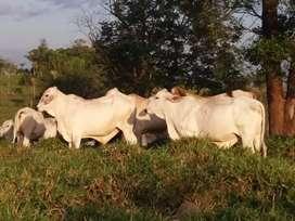 Vendo ganado brahaman y sebu