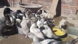 Vendo patos de  1 mes
