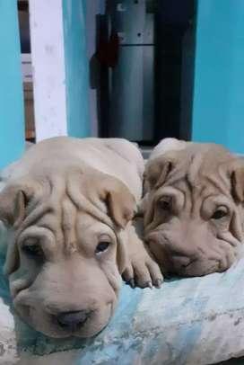 Cachorros sharpey