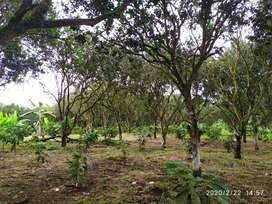 Se vende !!! 20 cuadras de plantación de cacao