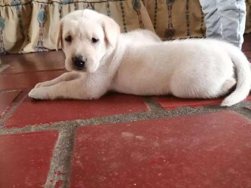 Labradores dorados 0
