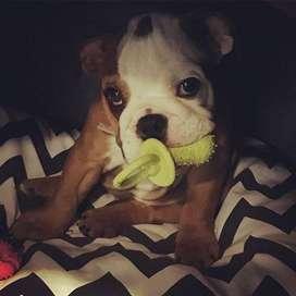 bebes hermosos bulldog ingles de 55 dias vacunados y desparasitados
