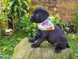 Hermosos Labradores Chocolate Y Dorados