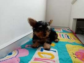 Lindo cachorro Yorkshire Terrier miniatura de tres meses de edad.