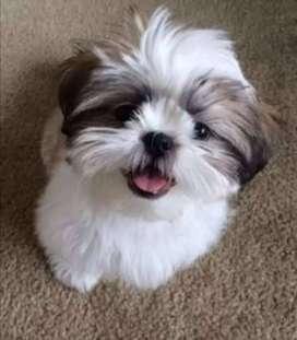 hermosos cachorros shitzu