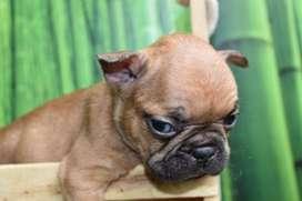 Bulldog Frances Macho Sable, Criadero El Arca del Frances, Cachorros Bulldog Frances