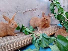Conejos LEONADOS DE BORGOÑA