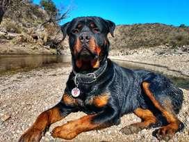 Rottweiler Macho se ofrece para servicio