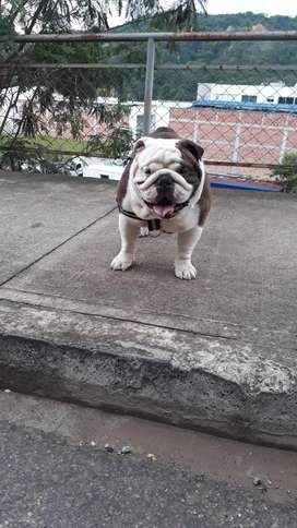 Busco novia bulldog ingles