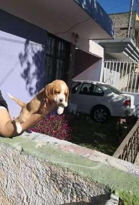 Súper cachorros beagles originales