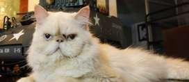 Gato persa Himalayo para monta