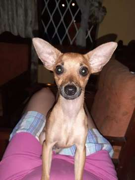 Chihuahua raza pura