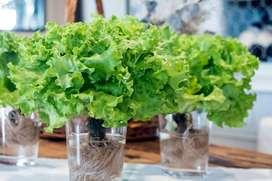 semillas de lechuga organica planta
