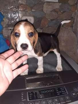 Macho beagle gordote bien bello