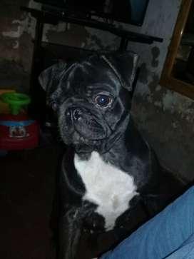 Busco novio para mi cachorra pug