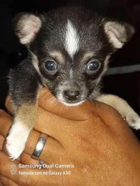 Se vende cachorro de Chihuahua