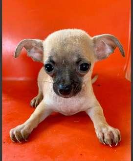 Chihuahuas machitos