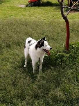 hermoso Husky malamute para monta