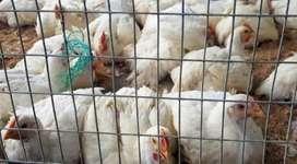 Venta de pollos amarillitos al por mayor y menor a domicilio