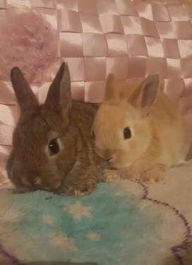 Conejos importados