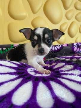 Chihuahua macho bicolor