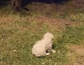 Cachorrita poodle