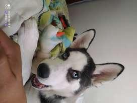 Se vende cachorra husky siberiano de 4 meses