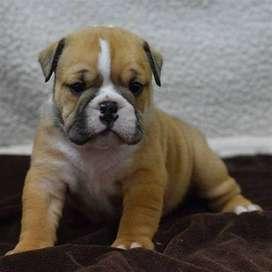 Disponible para entrega inmediata bulldog ingles de veterinaria con estupenda experiencia