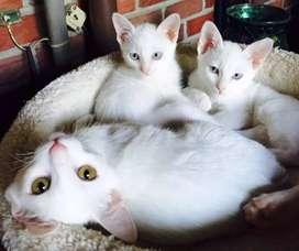 Lindos y tiernos gaticos disponible para vender