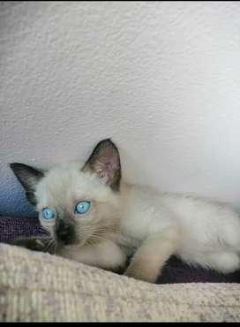Hermosos gatitos siames