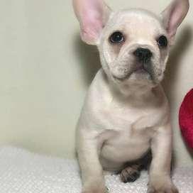 cachorritos fawn crema de 48 dias certificados bulldog frances