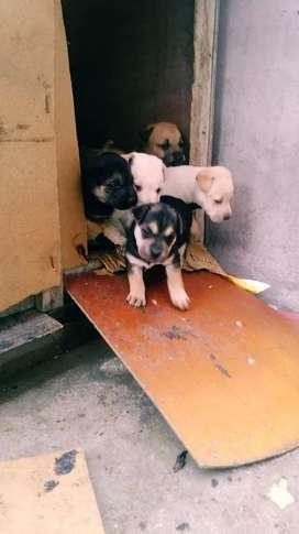 Se vende cachorros sharpei