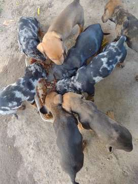 Vendo perritos salchichas