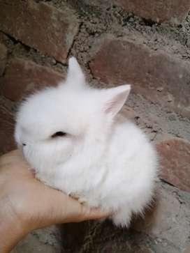 Conejos cabeza de león mascota