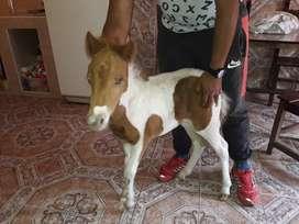 Pony 8 meses mansita es una enbrita