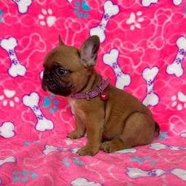 rojitos bulldog frances - 82 dias de edad.
