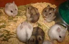 Ultimos dos hamster rusos