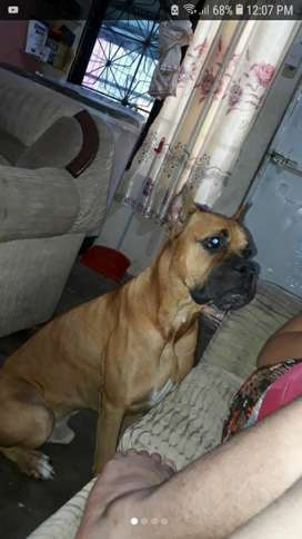 Perro Boxer Busca Novia
