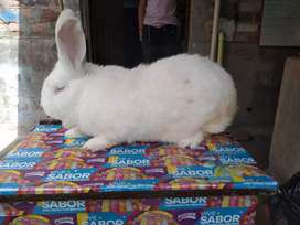 Mejora tu pie de cria con hermosos conejos gigantes