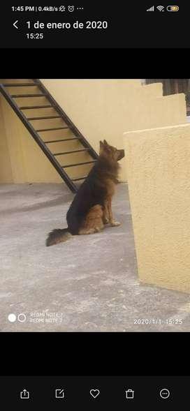 Perro pastor alemán busca novia