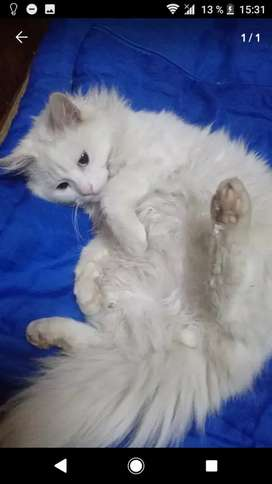 Gato macho angora turco