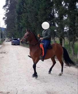 Vendo caballo capón 8 años