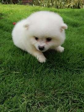 Pomeranias Lulu